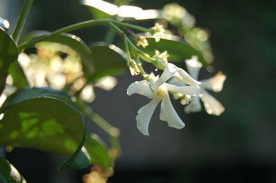 Confederate-jasmine